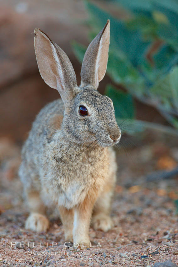 Desert cottontail, or Audubon's cottontail rabbit. Amado, Arizona, USA, Sylvilagus audubonii, natural history stock photograph, photo id 23055
