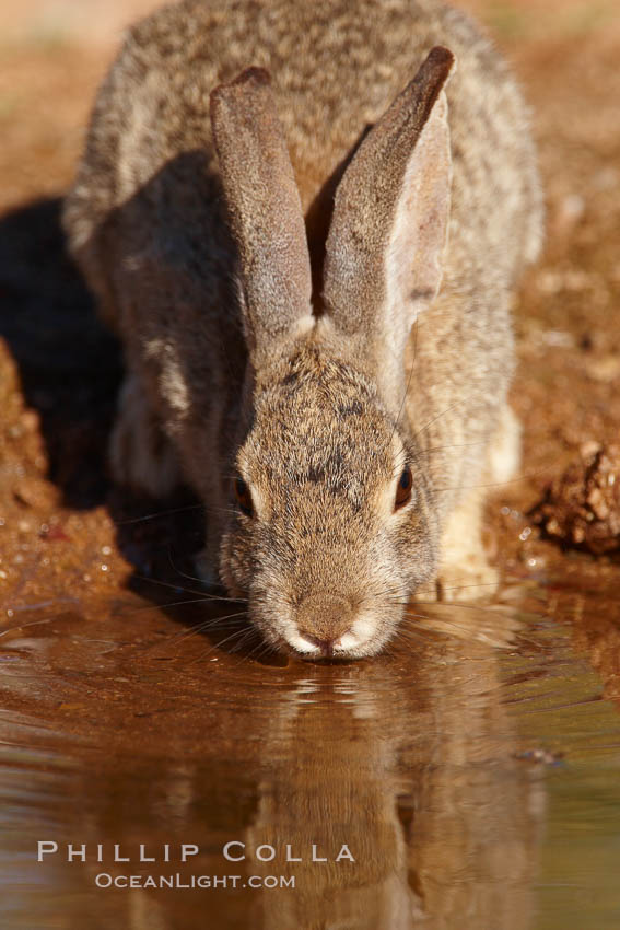 Desert cottontail, or Audubon's cottontail rabbit. Amado, Arizona, USA, Sylvilagus audubonii, natural history stock photograph, photo id 22933