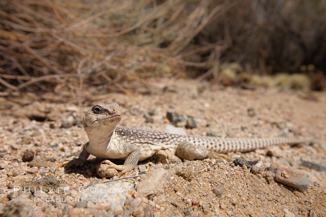 Desert iguana, one of the most common lizards of the Sonoran and Mojave deserts of the southwestern United States and northwestern Mexico. Joshua Tree National Park, California, USA, Dipsosaurus dorsalis, natural history stock photograph, photo id 26728