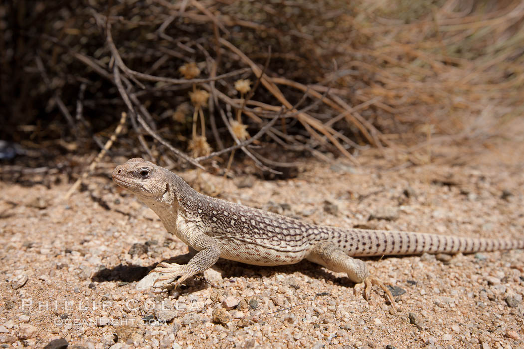 Desert iguana, one of the most common lizards of the Sonoran and Mojave deserts of the southwestern United States and northwestern Mexico. Joshua Tree National Park, California, USA, Dipsosaurus dorsalis, natural history stock photograph, photo id 26755