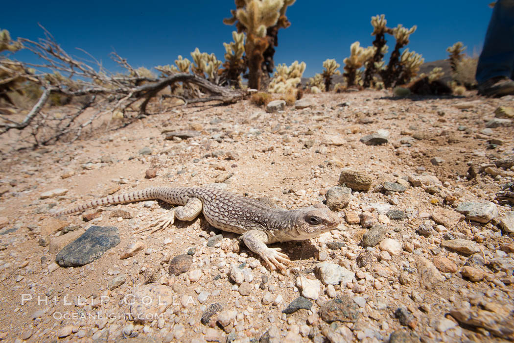 Desert iguana, one of the most common lizards of the Sonoran and Mojave deserts of the southwestern United States and northwestern Mexico. Joshua Tree National Park, California, USA, Dipsosaurus dorsalis, natural history stock photograph, photo id 26775