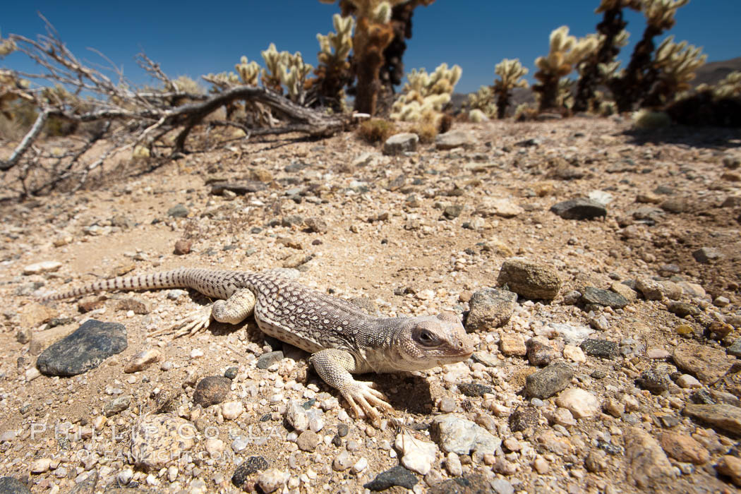 Desert iguana, one of the most common lizards of the Sonoran and Mojave deserts of the southwestern United States and northwestern Mexico. Joshua Tree National Park, California, USA, Dipsosaurus dorsalis, natural history stock photograph, photo id 26761