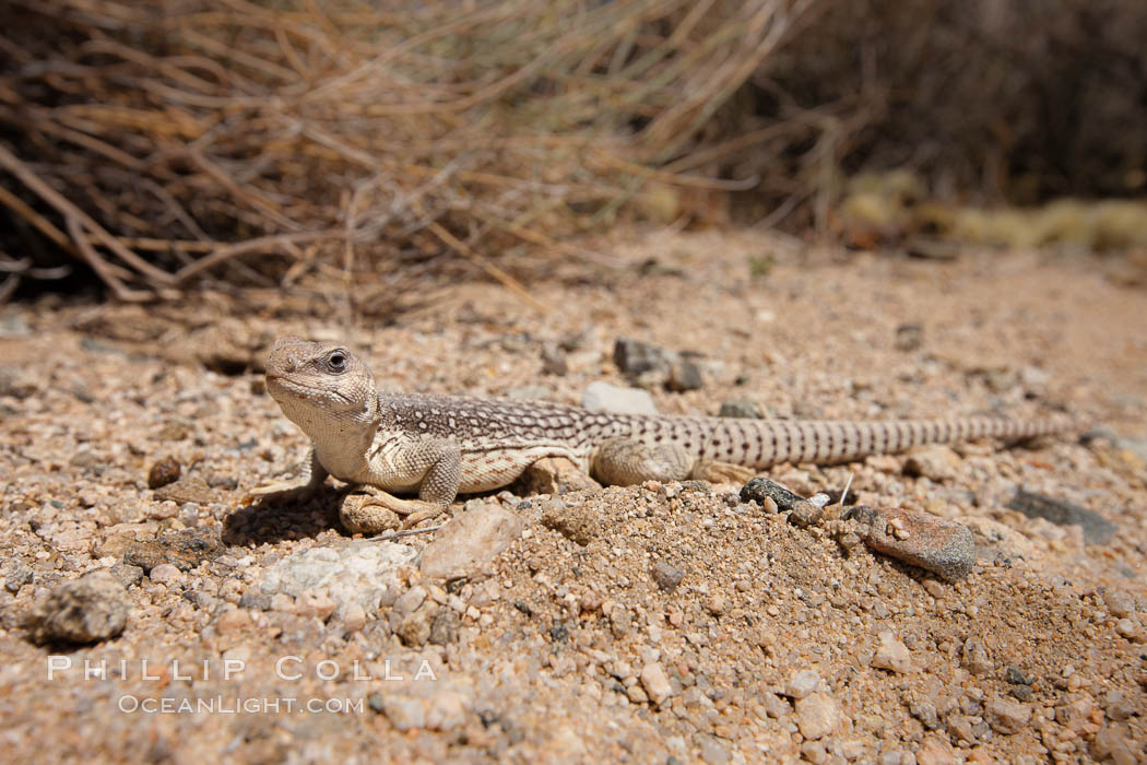 Desert iguana, one of the most common lizards of the Sonoran and Mojave deserts of the southwestern United States and northwestern Mexico. Joshua Tree National Park, California, USA, Dipsosaurus dorsalis, natural history stock photograph, photo id 26769