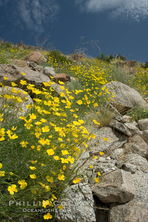 Clusters of desert poppy climb the steep sides of the Borrego Valley. Heavy winter rains led to a historic springtime bloom in 2005, carpeting the entire desert in vegetation and color for months. Anza-Borrego Desert State Park, Borrego Springs, California, USA, Eschscholzia parishii, natural history stock photograph, photo id 10944