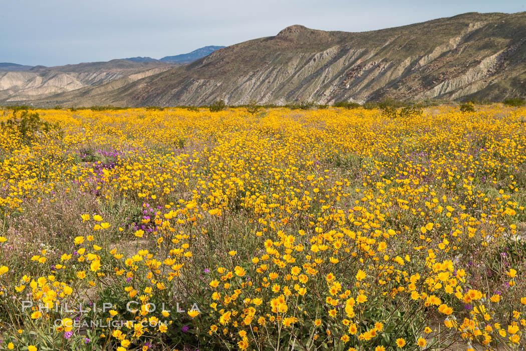 Desert Sunflower Blooming Across Anza Borrego Desert State Park. Anza-Borrego Desert State Park, Borrego Springs, California, USA, natural history stock photograph, photo id 35196