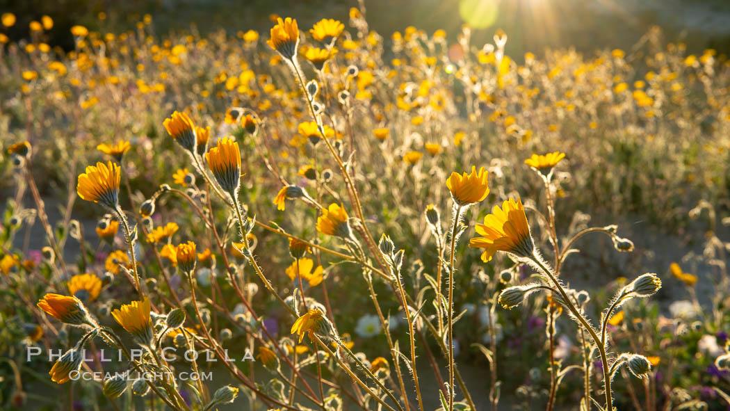 Desert Sunflower Blooming Across Anza Borrego Desert State Park. Anza-Borrego Desert State Park, Borrego Springs, California, USA, natural history stock photograph, photo id 35200