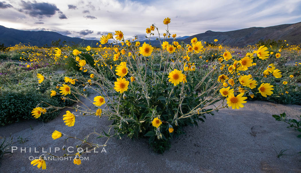 Desert Sunflower Blooming Across Anza Borrego Desert State Park. Anza-Borrego Desert State Park, Borrego Springs, California, USA, natural history stock photograph, photo id 35173