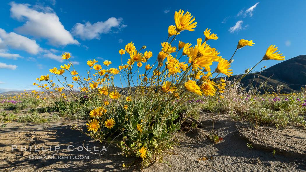 Desert Sunflower Blooming Across Anza Borrego Desert State Park. Anza-Borrego Desert State Park, Borrego Springs, California, USA, natural history stock photograph, photo id 35193