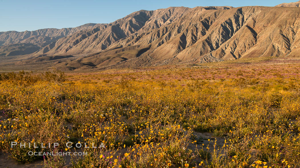 Desert Sunflower Blooming Across Anza Borrego Desert State Park. Anza-Borrego Desert State Park, Borrego Springs, California, USA, natural history stock photograph, photo id 35201