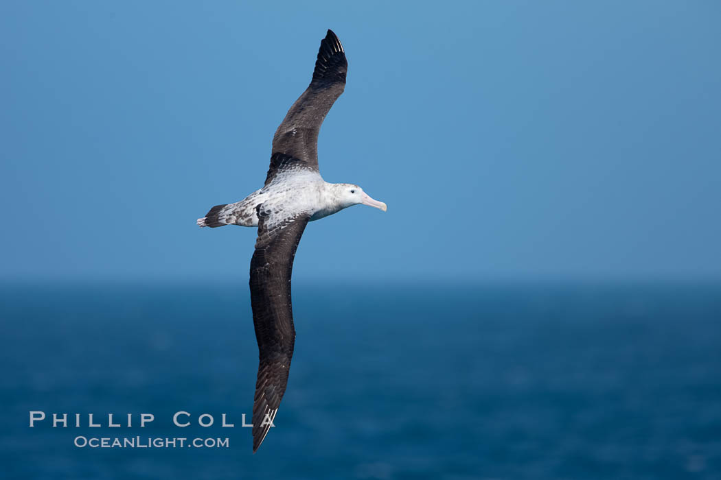 Wandering albatross in flight, over the open sea.  The wandering albatross has the largest wingspan of any living bird, with the wingspan between, up to 12' from wingtip to wingtip.  It can soar on the open ocean for hours at a time, riding the updrafts from individual swells, with a glide ratio of 22 units of distance for every unit of drop.  The wandering albatross can live up to 23 years.  They hunt at night on the open ocean for cephalopods, small fish, and crustaceans. The survival of the species is at risk due to mortality from long-line fishing gear. Southern Ocean, Diomedea exulans, natural history stock photograph, photo id 24071