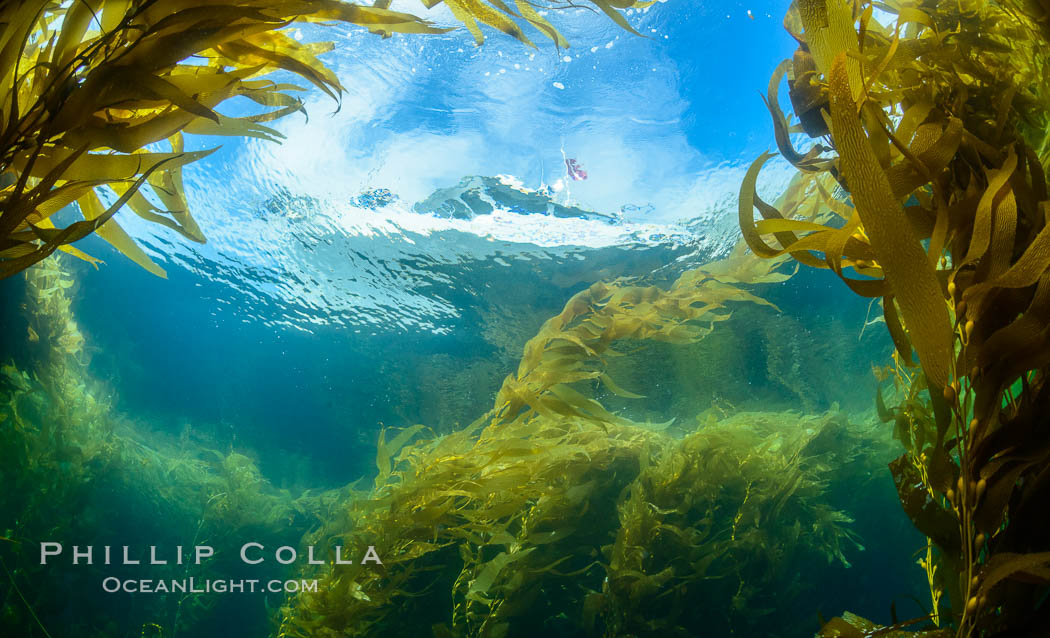 Dive boat and kelp forest. Giant kelp, the fastest growing plant on Earth, reaches from the rocky bottom to the ocean's surface like a submarine forest. Catalina Island, California, USA, natural history stock photograph, photo id 34195