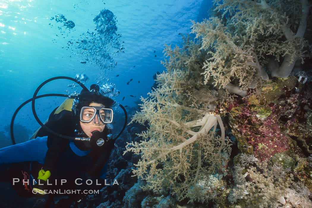Diver and alcyonarian soft coral, Northern Red Sea. Egyptian Red Sea, natural history stock photograph, photo id 01492