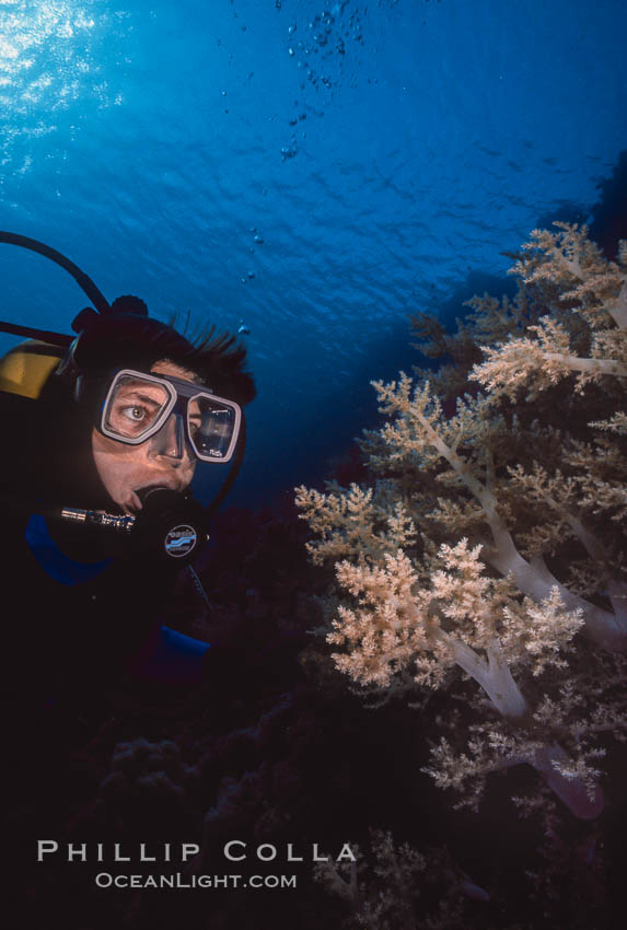 Diver and alcyonarian soft coral, Northern Red Sea. Egyptian Red Sea, natural history stock photograph, photo id 36252
