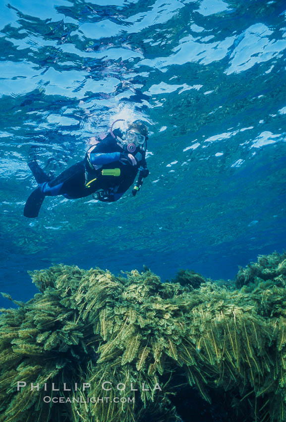 Diver and Southern Sea Palms, Guadalupe Island, Mexico. Guadalupe Island (Isla Guadalupe), Baja California, natural history stock photograph, photo id 36170