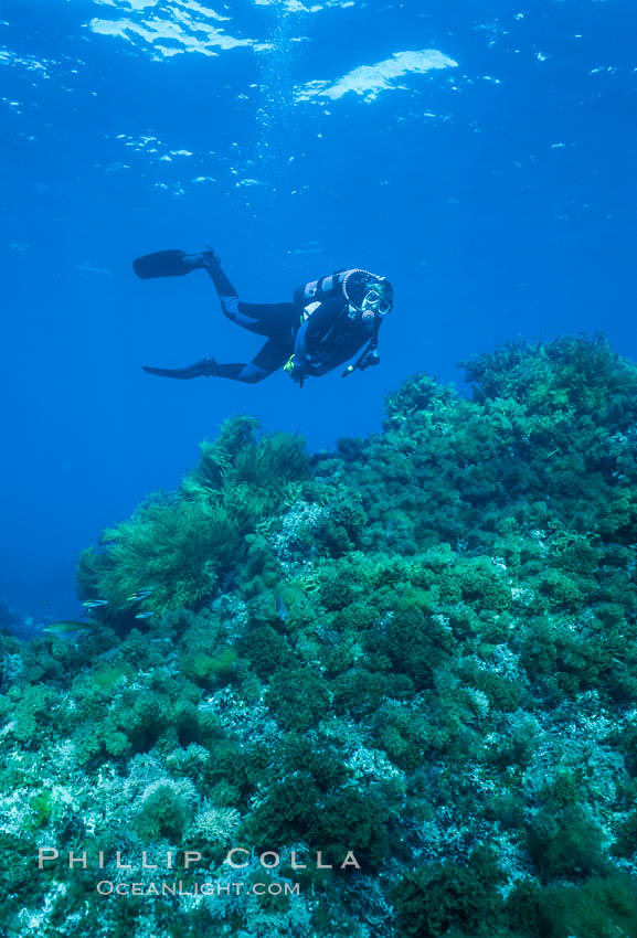 Diver, rocky reef covered with lowlying kelps. Guadalupe Island (Isla Guadalupe), Baja California, Mexico, natural history stock photograph, photo id 03737