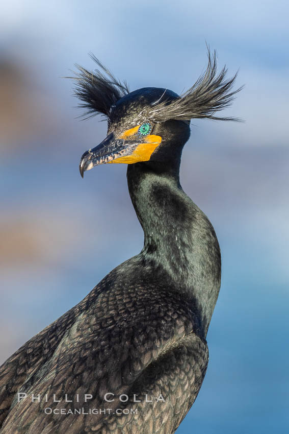 Double-crested cormorant nuptial crests, tufts of feathers on each side of the head, plumage associated with courtship and mating. La Jolla, California, USA, Phalacrocorax auritus, natural history stock photograph, photo id 36848