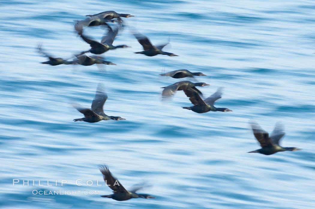 Double-crested cormorants in flight at sunrise, long exposure produces a blurred motion. La Jolla, California, USA, Phalacrocorax auritus, natural history stock photograph, photo id 15282