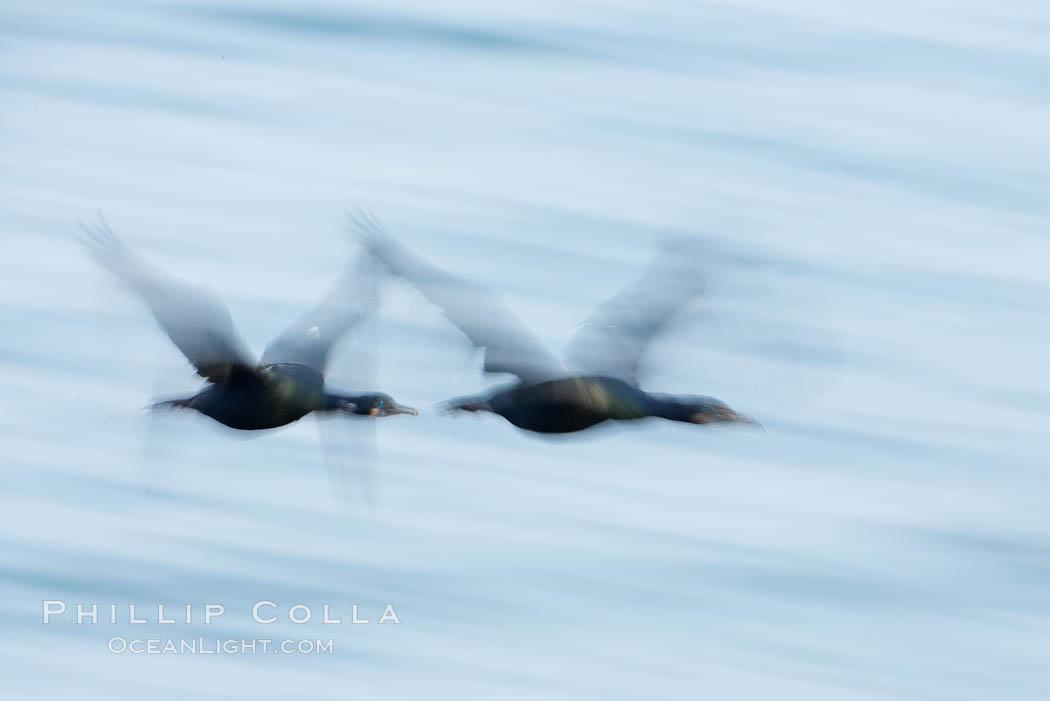 Double-crested cormorants in flight at sunrise, long exposure produces a blurred motion. La Jolla, California, USA, Phalacrocorax auritus, natural history stock photograph, photo id 15283