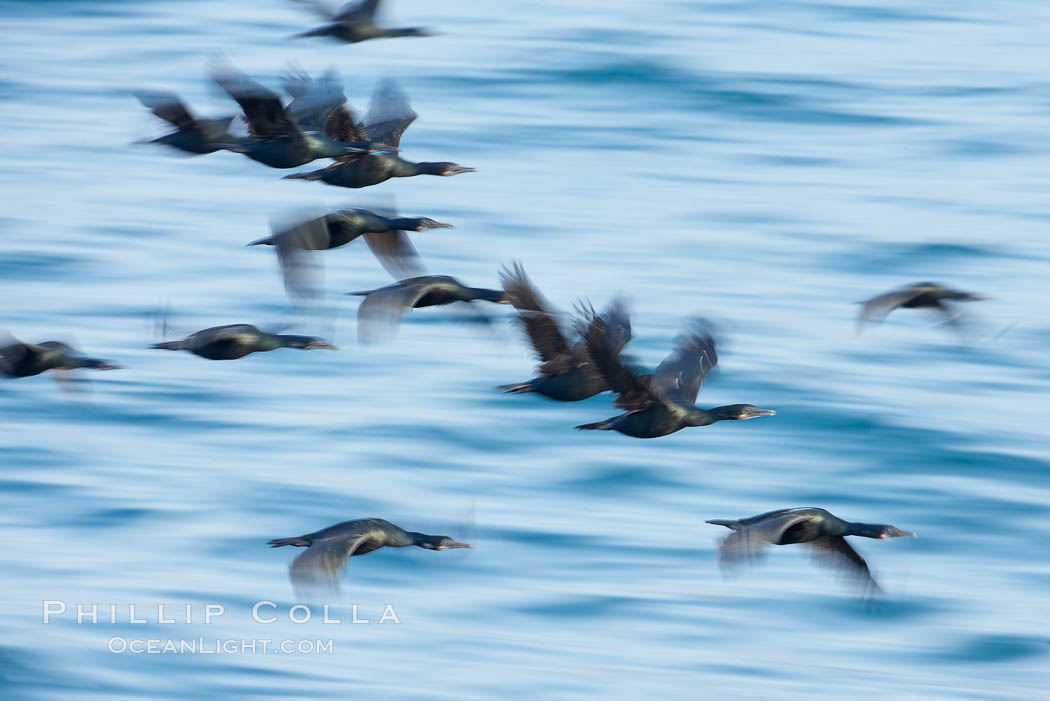Double-crested cormorants in flight at sunrise, long exposure produces a blurred motion. La Jolla, California, USA, Phalacrocorax auritus, natural history stock photograph, photo id 15285