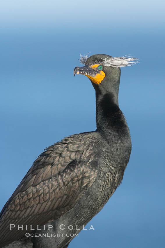 Image 15785, Double-crested cormorant, breeding plumage showing tufts. La Jolla, California, USA, Phalacrocorax auritus