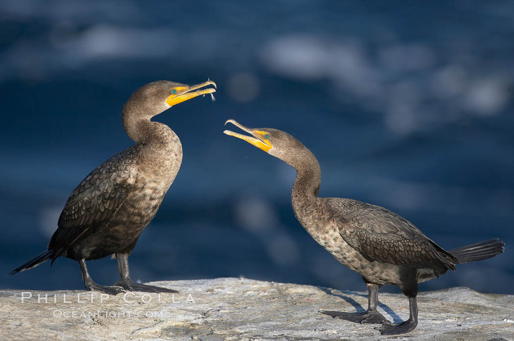 Juvenile double-crested cormorants sparring with beaks. La Jolla, California, USA, Phalacrocorax auritus, natural history stock photograph, photo id 19980