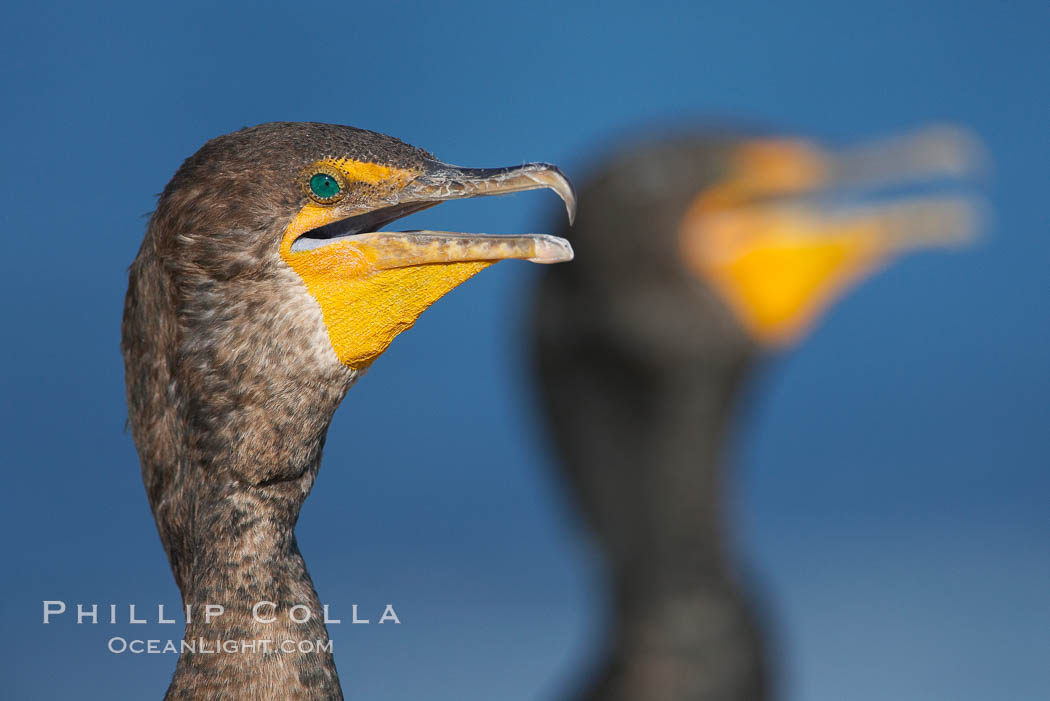 Double-crested cormorants, portrait. La Jolla, California, USA, Phalacrocorax auritus, natural history stock photograph, photo id 18457