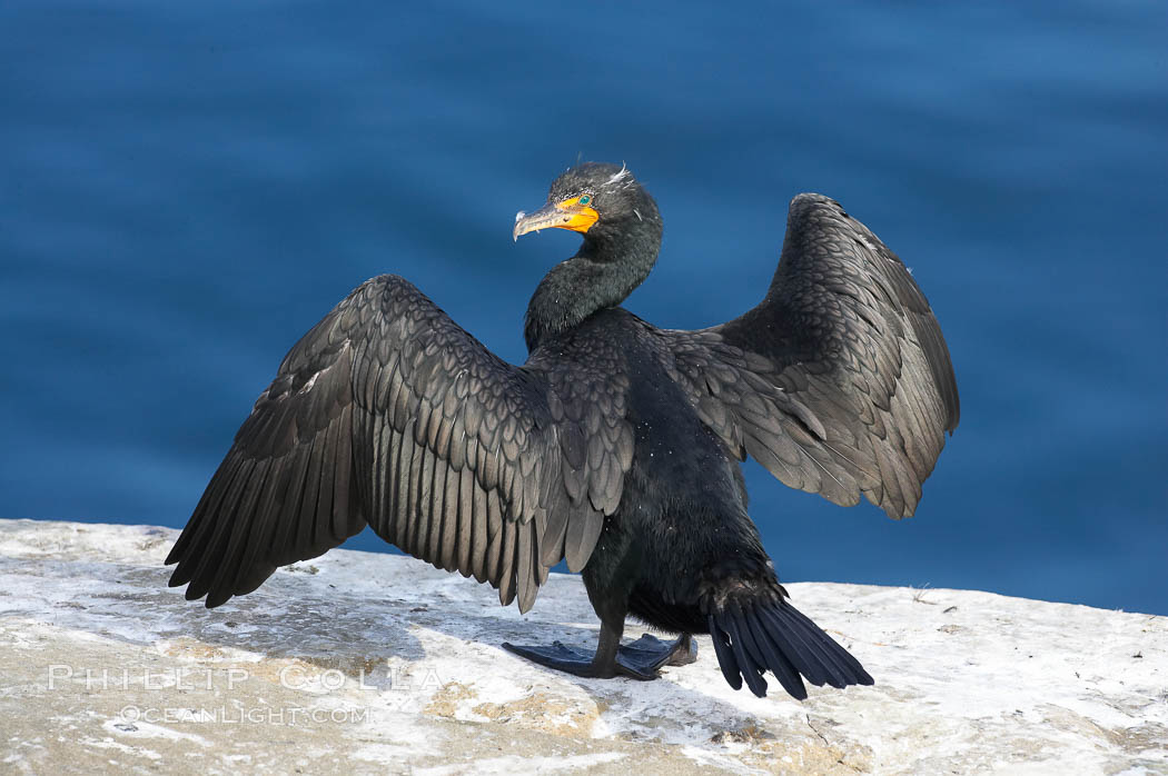Double-crested cormorant drys its wings in the sun following a morning of foraging in the ocean, La Jolla cliffs, near San Diego. La Jolla, California, USA, Phalacrocorax auritus, natural history stock photograph, photo id 15072