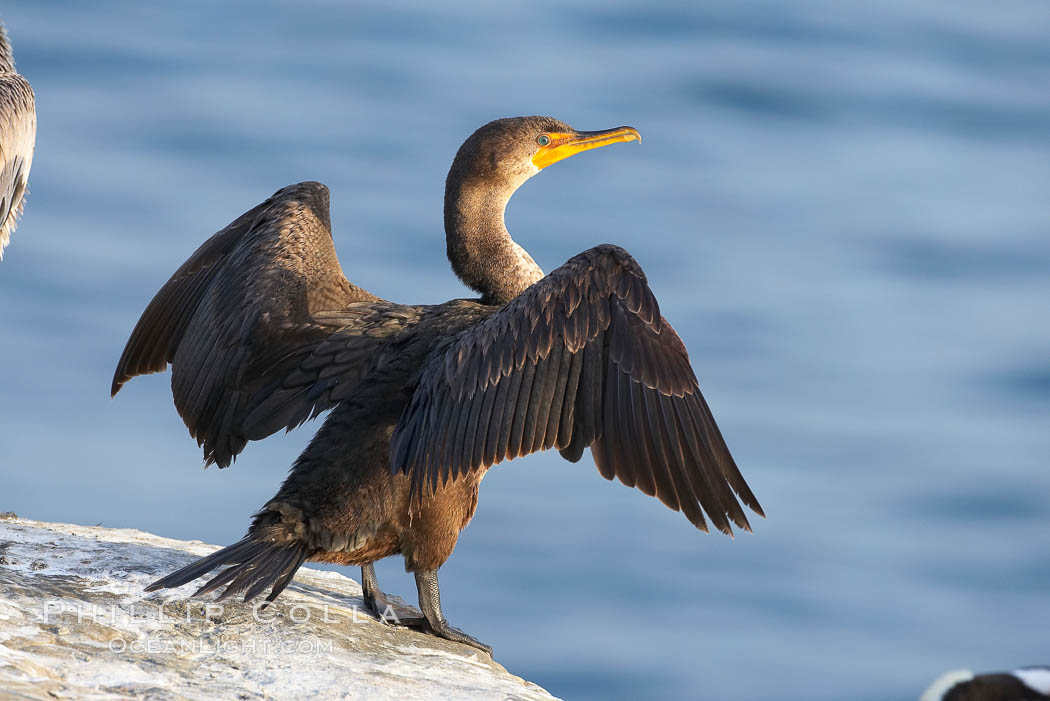 Double-crested cormorant drys its wings in the sun following a morning of foraging in the ocean, La Jolla cliffs, near San Diego. La Jolla, California, USA, Phalacrocorax auritus, natural history stock photograph, photo id 15075