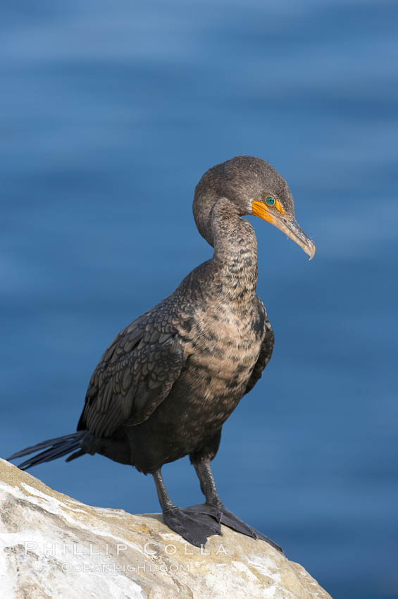 Double-crested cormorant, La Jolla cliffs, near San Diego. La Jolla, California, USA, Phalacrocorax auritus, natural history stock photograph, photo id 15073