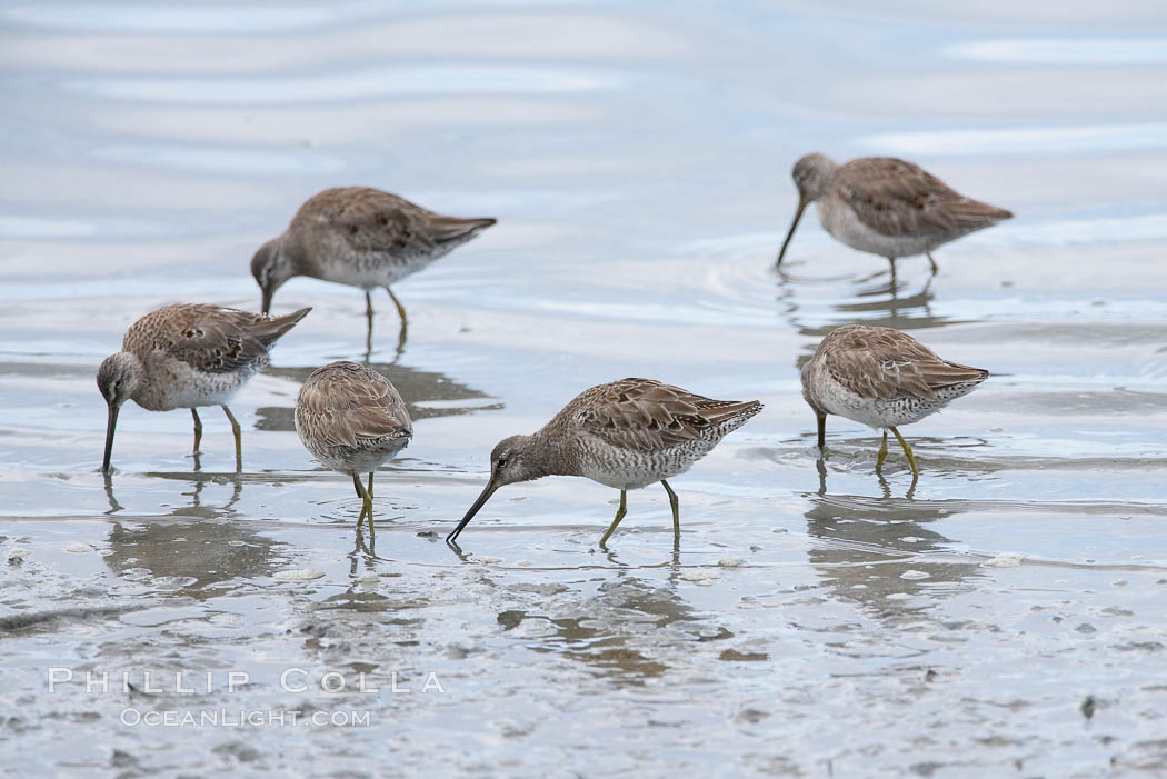 Dowitchers foraging on mud flats. Upper Newport Bay Ecological Reserve, Newport Beach, California, USA, Limnodromus, natural history stock photograph, photo id 15690