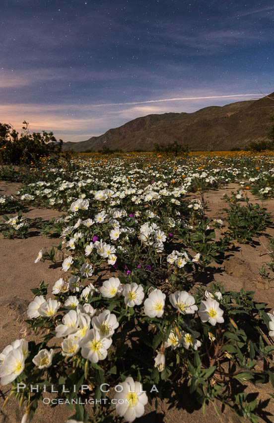 Dune Evening Primrose bloom under the stars in Anza Borrego Desert State Park, during the 2017 Superbloom. Anza-Borrego Desert State Park, Borrego Springs, California, USA, Oenothera deltoides, natural history stock photograph, photo id 33166