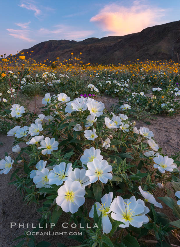 Dune Evening Primrose bloom in Anza Borrego Desert State Park, during the 2017 Superbloom. Anza-Borrego Desert State Park, Borrego Springs, California, USA, Oenothera deltoides, natural history stock photograph, photo id 33182