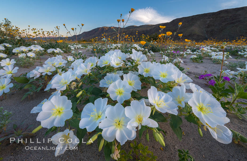 Dune Evening Primrose bloom in Anza Borrego Desert State Park, during the 2017 Superbloom. Anza-Borrego Desert State Park, Borrego Springs, California, USA, Oenothera deltoides, natural history stock photograph, photo id 33186