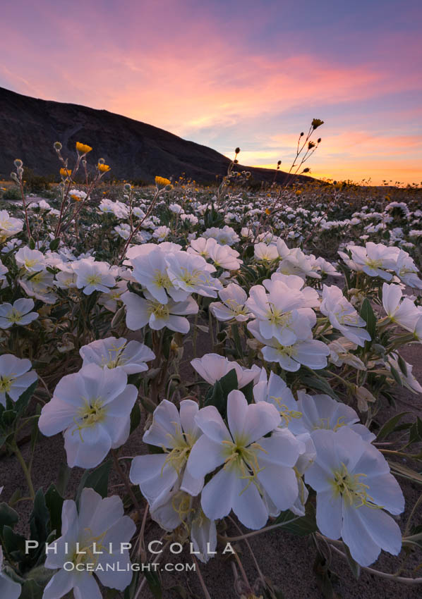 Dune Evening Primrose bloom in Anza Borrego Desert State Park, during the 2017 Superbloom. Anza-Borrego Desert State Park, Borrego Springs, California, USA, Oenothera deltoides, natural history stock photograph, photo id 33168