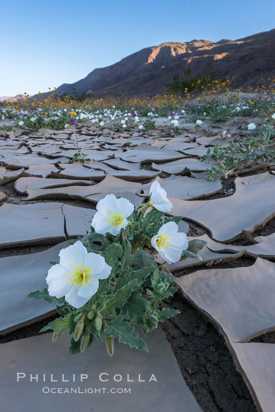 Image 33220, Dune Evening Primrose bloom in Anza Borrego Desert State Park, during the 2017 Superbloom. Anza-Borrego Desert State Park, Borrego Springs, California, USA, Oenothera deltoides