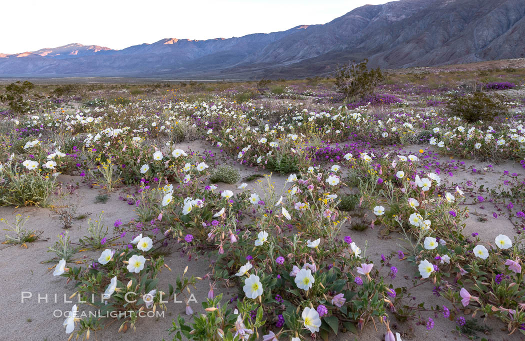 Dune primrose (white) and sand verbena (purple) bloom in spring in Anza Borrego Desert State Park, mixing in a rich display of desert color. Anza-Borrego Desert State Park, Borrego Springs, California, USA, Abronia villosa, Oenothera deltoides, natural history stock photograph, photo id 35218