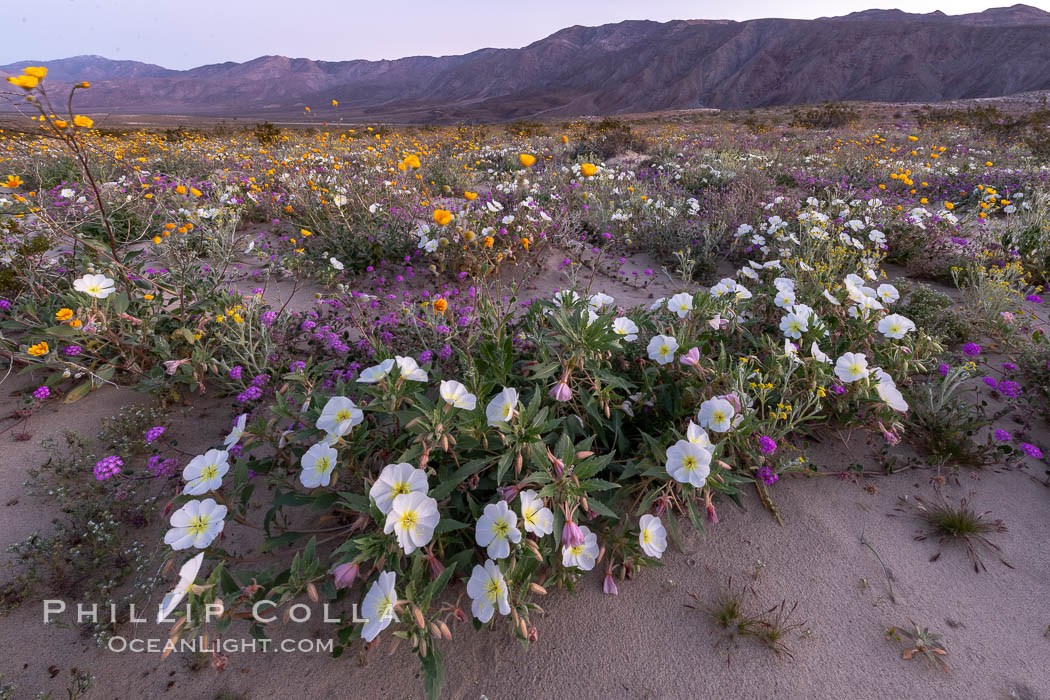 Dune primrose (white) and sand verbena (purple) bloom in spring in Anza Borrego Desert State Park, mixing in a rich display of desert color. Anza-Borrego Desert State Park, Borrego Springs, California, USA, Abronia villosa, Oenothera deltoides, natural history stock photograph, photo id 35220