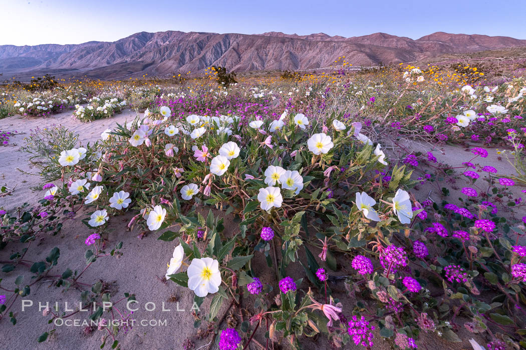 Dune primrose (white) and sand verbena (purple) bloom in spring in Anza Borrego Desert State Park, mixing in a rich display of desert color. Anza-Borrego Desert State Park, Borrego Springs, California, USA, Abronia villosa, Oenothera deltoides, natural history stock photograph, photo id 35199