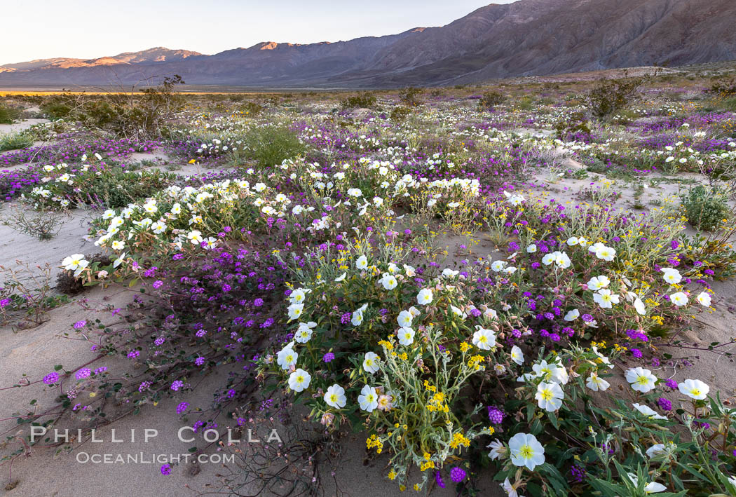 Dune primrose (white) and sand verbena (purple) bloom in spring in Anza Borrego Desert State Park, mixing in a rich display of desert color. Anza-Borrego Desert State Park, Borrego Springs, California, USA, Abronia villosa, Oenothera deltoides, natural history stock photograph, photo id 35217