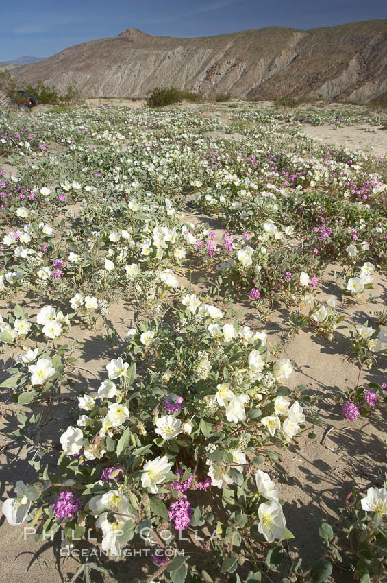 Image 20472, Dune primrose (white) and sand verbena (purple) bloom in spring in Anza Borrego Desert State Park, mixing in a rich display of desert color.  Anza Borrego Desert State Park. Anza-Borrego Desert State Park, Borrego Springs, California, USA, Oenothera deltoides, Abronia villosa, Phillip Colla, all rights reserved worldwide. Keywords: abronia villosa, anza borrego, anza borrego desert state park, anza-borrego desert state park, california, desert, desert wildflower, dune evening primrose, dune primrose, landscape, nature, oenothera deltoides, outdoors, outside, plant, primrose, sand verbena, scene, scenic, state parks, usa, wildflower.