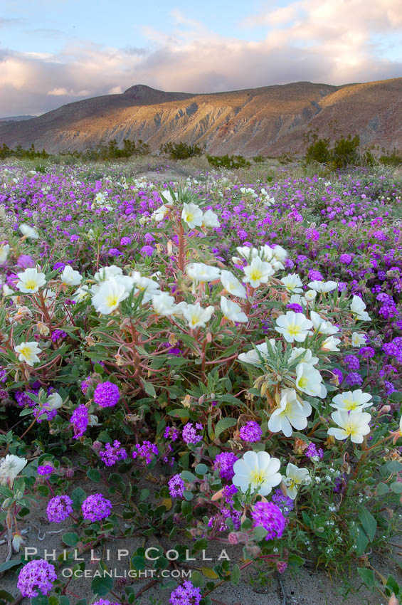 Dune primrose (white) and sand verbena (purple) bloom in spring in Anza Borrego Desert State Park, mixing in a rich display of desert color.  Anza Borrego Desert State Park. Anza-Borrego Desert State Park, Borrego Springs, California, USA, Oenothera deltoides, Abronia villosa, natural history stock photograph, photo id 10459
