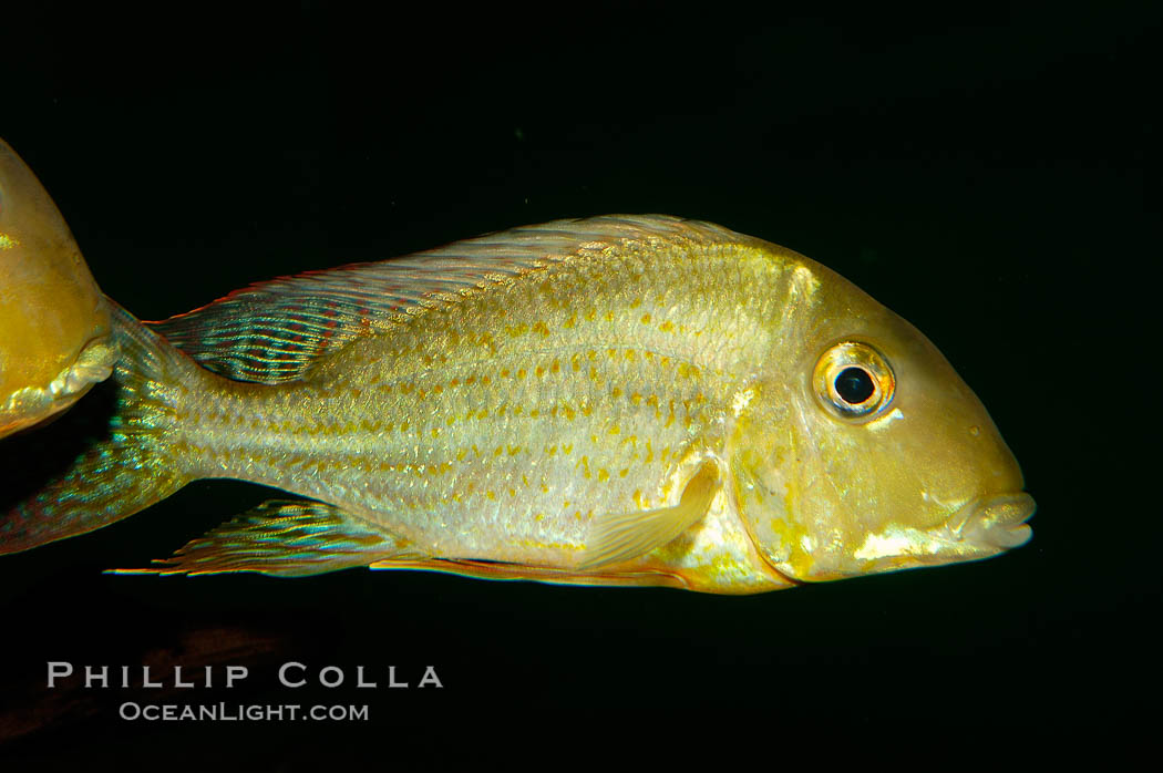 Earth-eating cichlid, native to South American rivers., Geophagus altifrons, natural history stock photograph, photo id 09822