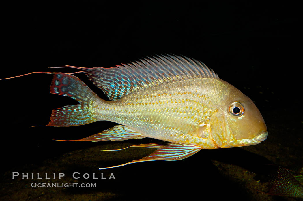 Earth-eating cichlid, native to South American rivers., Geophagus altifrons, natural history stock photograph, photo id 09821