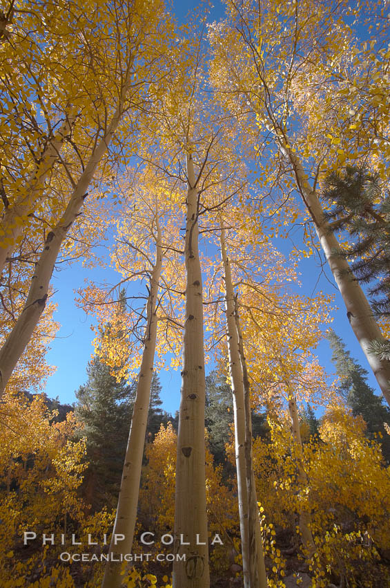 Aspen trees turn yellow and orange in early October, North Fork of Bishop Creek Canyon. Bishop Creek Canyon, Sierra Nevada Mountains, Bishop, California, USA, Populus tremuloides, natural history stock photograph, photo id 17522