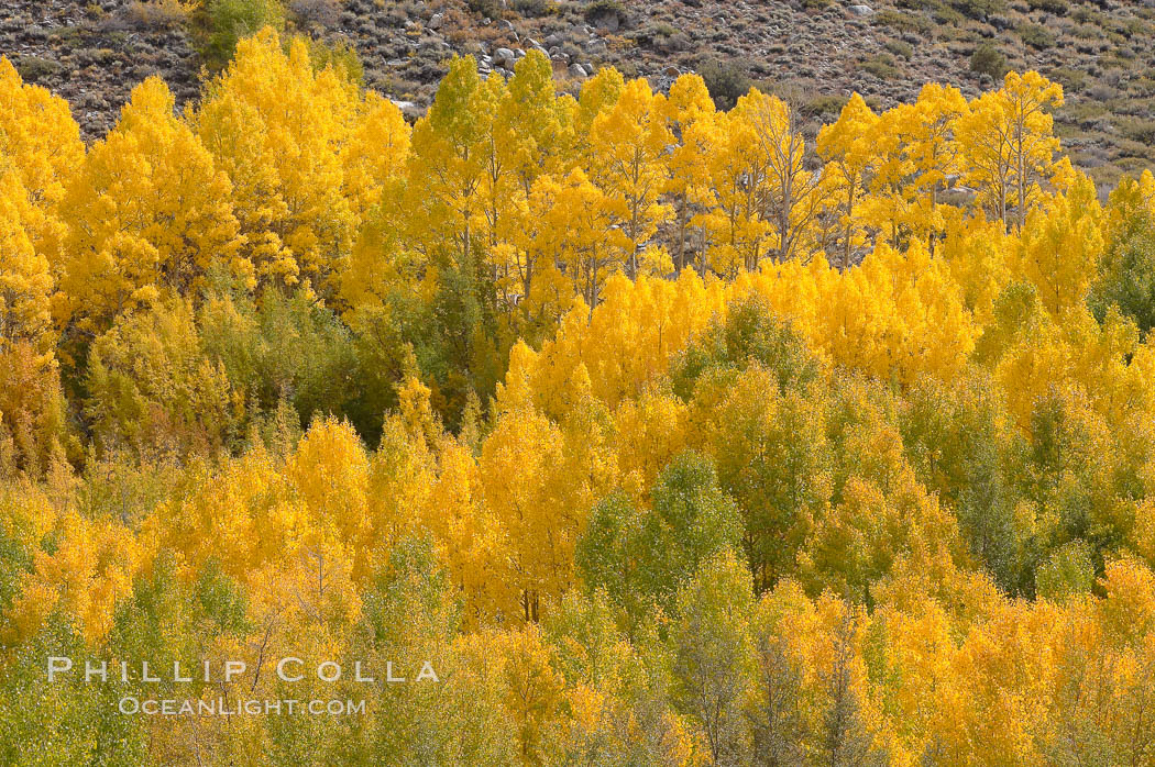 Aspen trees turn yellow and orange in early October, South Fork of Bishop Creek Canyon. Bishop Creek Canyon, Sierra Nevada Mountains, Bishop, California, USA, Populus tremuloides, natural history stock photograph, photo id 17534