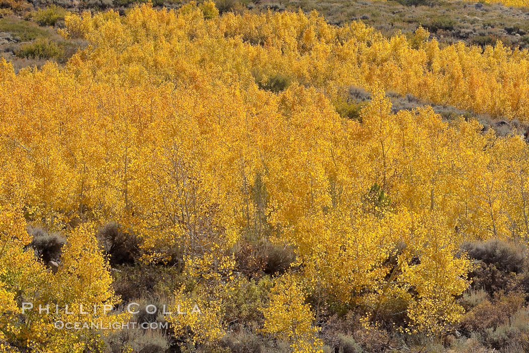 Image 17516, Aspen trees turn yellow and orange in early October, South Fork of Bishop Creek Canyon. Bishop Creek Canyon, Sierra Nevada Mountains, Bishop, California, USA, Populus tremuloides, Phillip Colla, all rights reserved worldwide. Keywords: aspen, aspen tree, aspens, autumn, bishop, bishop creek, bishop creek canyon, bishop creek canyon sierra nevada mountains, california, eastern sierra, eastern sierra fall colors, environment, fall, fall color, fall colors, foliage, forest, grove, high sierra, landscape, mountain, nature, outdoors, outside, plant, populus tremuloides, quaking aspen, scene, scenery, scenic, sierra, sierra nevada, terrestrial plant, tree, trees, usa.