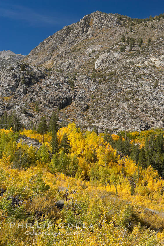 Aspen trees cover Bishop Creek Canyon above Aspendel. Bishop Creek Canyon, Sierra Nevada Mountains, Bishop, California, USA, Populus tremuloides, natural history stock photograph, photo id 17515