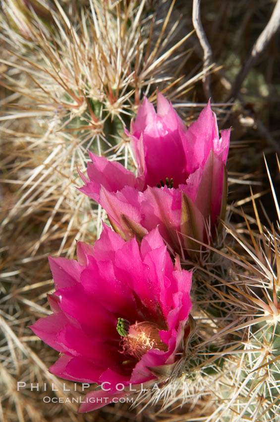 Hedgehog cactus blooms in spring. Anza-Borrego Desert State Park, Borrego Springs, California, USA, Echinocereus engelmannii, natural history stock photograph, photo id 11584