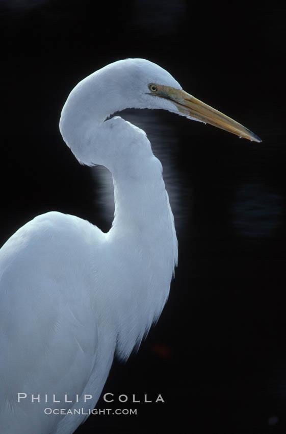 Egret. Homosassa River, Homosassa, Florida, USA, natural history stock photograph, photo id 05838