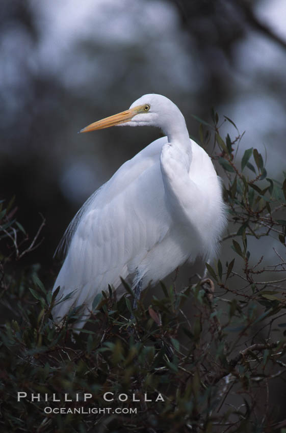 Egret. Homosassa River, Florida, USA, natural history stock photograph, photo id 05844